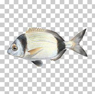 Oily Fish Fauna Carp Perch PNG