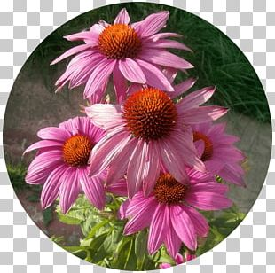 Daisy Family Coneflower Aster Chrysanthemum PNG