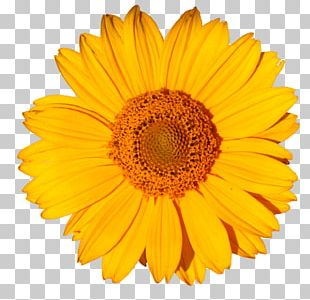 Stock Photography Common Sunflower Yellow Common Daisy PNG