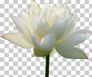 Nelumbo Nucifera Pygmy Water-lily Flower PNG
