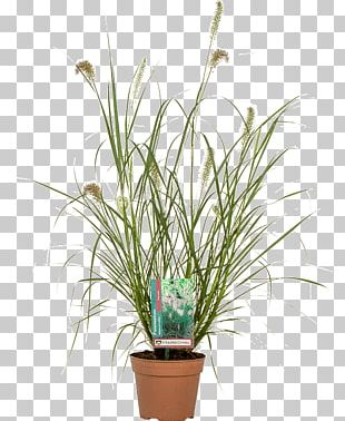 Flowerpot Chinese Fountain Grass Lampepoetsergras Houseplant Nursery PNG