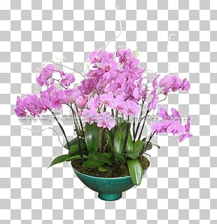 Moth Orchids Floral Design Cut Flowers Cattleya Orchids PNG