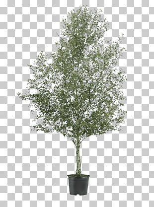 Silver Birch Tree Oak River Birch Shrub PNG