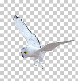 Bird Of Prey Owl Beak Fauna PNG