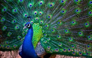 India Asiatic Peafowl Bird Jaguarundi Phasianidae PNG