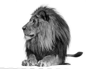 Lionhead Rabbit Stock Photography Roar PNG