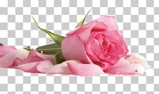 Beach Rose Flower Pink Color Petal PNG