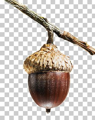 Spirited Commitment: The Samuel And Saidye Bronfman Family Foundation Quercus Faginea Acorn Tree PNG