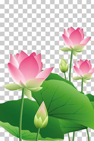 Lotus Lotus Leaf PNG