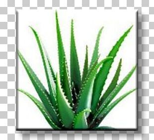 Aloe Vera Dietary Supplement Forever Living Products Health Skin PNG