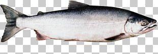 Coho Salmon Sockeye Salmon Chinook Salmon Chum Salmon PNG