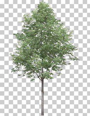 Populus Alba Tree Oak Stock Photography PNG