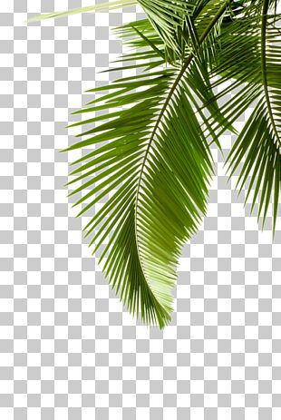 Arecaceae Leaf Tree Stock Photography Plant PNG