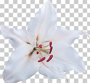 Cut Flowers Madonna Lily White Petal PNG