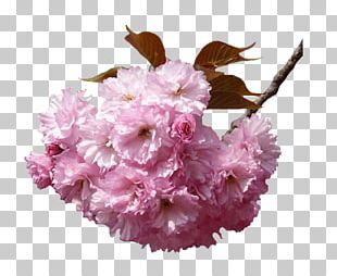 National Cherry Blossom Festival Hanami Flower PNG