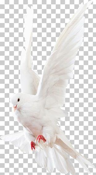 Columbidae Rock Dove Homing Pigeon PNG