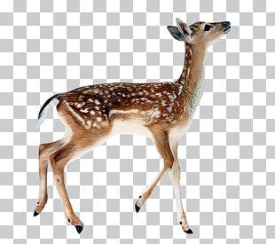 White-tailed Deer Reindeer Roe Deer Fallow Deer Kitten PNG