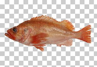 Northern Red Snapper Rose Fish Fish Products Tilapia PNG
