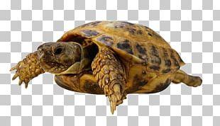Sea Turtle Tortoise PNG