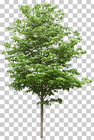 Tree Structure Oak Stock Photography PNG