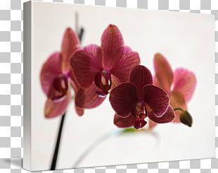 Moth Orchids Floral Design Dendrobium Cut Flowers PNG