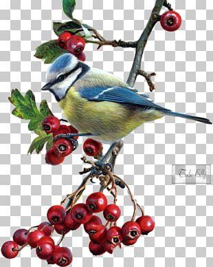 Drawing Birds Eurasian Blue Tit PNG