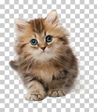 Cat Kitten Cuteness PNG