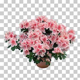 Azalea Rhododendron Simsii Plant Subgenus Flower PNG