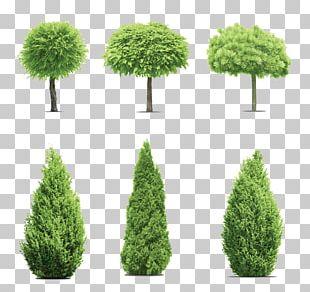 Gum Trees Cupressus PNG
