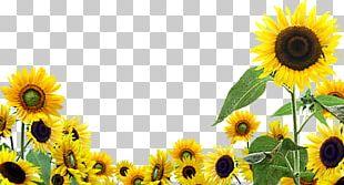 Desktop Common Sunflower PNG