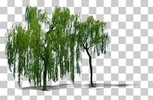 Weeping Willow Tree Computer File PNG