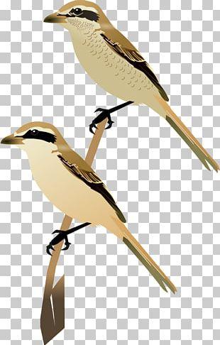 Wren Fauna Cuckoos Beak Feather PNG