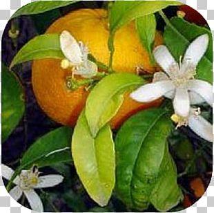 Bitter Orange Rangpur Calamondin Tangerine PNG