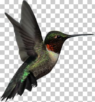 Ruby-throated Hummingbird Rufous Hummingbird Stock Photography PNG