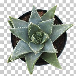 Aloe Brevifolia Succulent Plant Aloe Rosette Agave PNG
