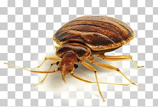 Insect Bed Bug Bite Bed Bug Control Techniques Pest Control PNG