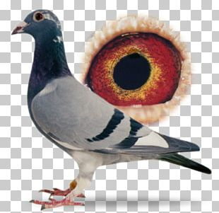 Racing Homer Columbidae Homing Pigeon Pigeon Racing PNG
