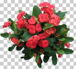 Euphorbia Milii Thorns PNG
