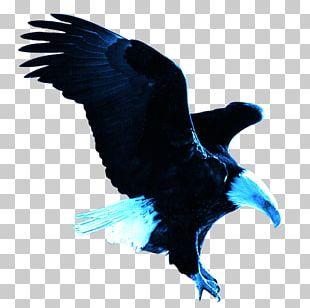 Bald Eagle Eastern Imperial Eagle PNG