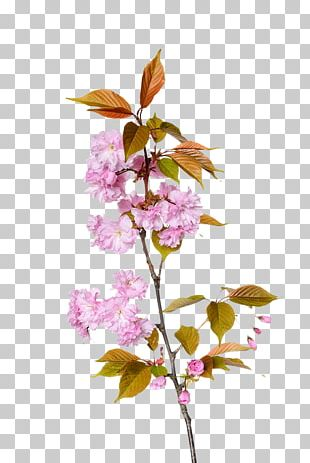 Cherry Blossom Branch Floral Design PNG