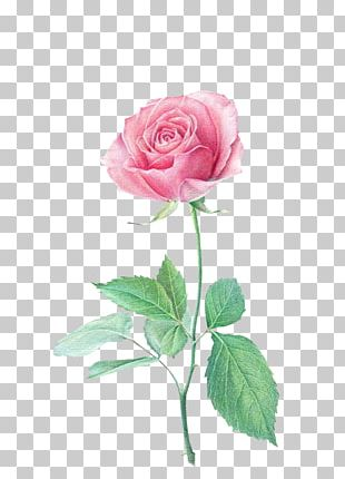 Colored Pencil Flower Drawing Beach Rose Paper PNG