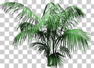 Attalea Speciosa Coconut Tree Arecaceae PNG