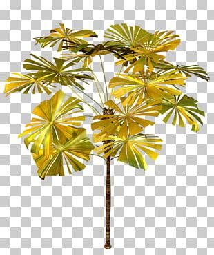 Asian Palmyra Palm Arecaceae Tree Plant PNG