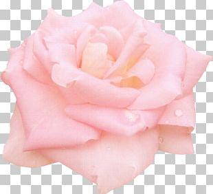 Still Life: Pink Roses Garden Roses Centifolia Roses Floribunda PNG