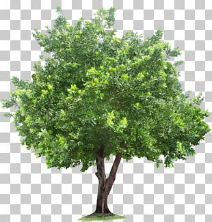 Tree Root PNG