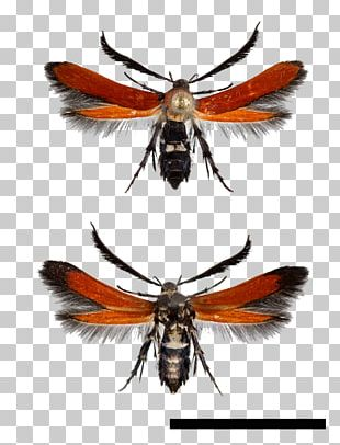 Bee Moth Atkinsonia Butalistis Wing Butterfly PNG