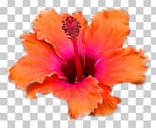 Hibiscus Teller PNG