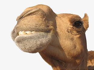 Camel Creative PNG