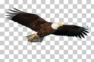 Rock Dove Bird Flight Parrot Hawk PNG