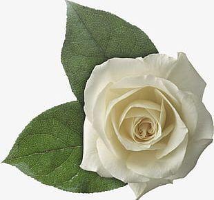 White Rose Leaf PNG